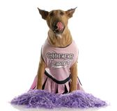 Dog dressed up as a cheerleader Royalty Free Stock Images