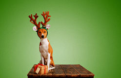 Dog dressed up as Christmas deer with present Stock Photography