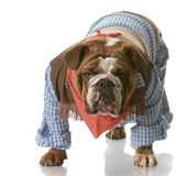 Dog dressed up as a cowboy Royalty Free Stock Photography