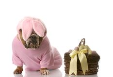 Dog dressed up as easter bunny Royalty Free Stock Image