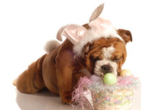 Dog dressed up as easter bunny Stock Image