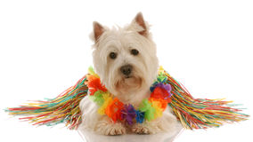 Dog dressed up as hula dancer Stock Images