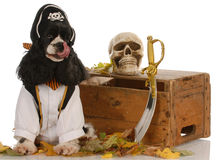 Dog dressed up as a pirate Stock Photo
