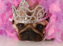 Dog dressed up as a princess Stock Images