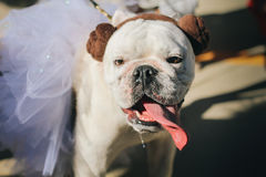 Dog Dressed Up As Princess Leia Costume. Cute Bulldog with tongue sticking out dressed up as Princess Leia from Star Wars for Halloween Stock Photo