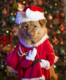 Dog dressed up as Santa Claus Royalty Free Stock Images