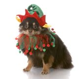 Dog dressed up as santa elf stock image