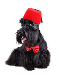 Dog dressed-up in bow tie and fez Royalty Free Stock Image