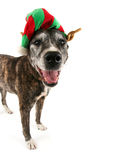A dog dressed up for chistmas Royalty Free Stock Image