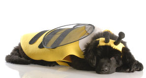 Dog dressed up like a bee. Newfoundland puppy dressed up like a bee - twelve weeks old Royalty Free Stock Image