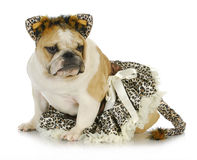 Dog dressed up like a cat Stock Images