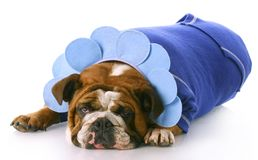 Dog dressed up like a flower Stock Image