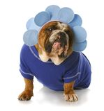 Dog dressed up like a flower Stock Photo