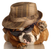 Dog dressed up like gangster Royalty Free Stock Image