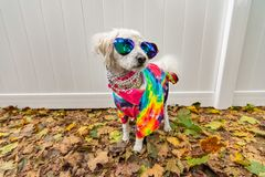 Dog dressed up like a hippie. Wearing tye dye shirt, necklace and sunglasses royalty free stock image
