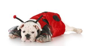 Dog dressed up like a lady bug Royalty Free Stock Photos