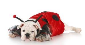 Dog dressed up like a lady bug Royalty Free Stock Photos