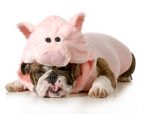 Dog dressed up like a pig Stock Photos