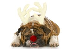 Dog dressed up like rudolph royalty free stock photos