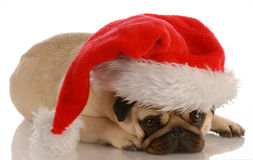 Dog dressed up with santa hat Stock Photography