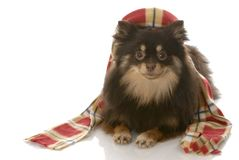 Dog dressed up for winter Stock Image