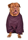 Dog dressed with wine red raincoat isolated Stock Photo