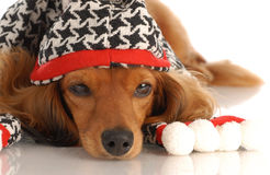 Dog dressed for winter Stock Photo