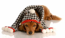 Dog dressed for winter Stock Photography