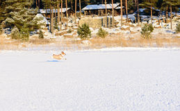 Dog dressed in winter coat playing at ice. Jack Russell Terrier running at winter beach Stock Photography