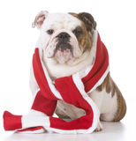 Dog dressed for winter Royalty Free Stock Photos