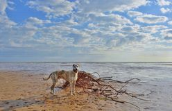 Dog and driftwood. Lurcher dog and driftwood on beach Royalty Free Stock Photo