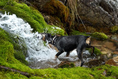 Dog drink from creek Royalty Free Stock Photography