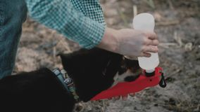 Dog drink water from a drinking bowl.Dog drink water Dog walk in the pine forest.Black Shiba Inu dog in a city park. stock footage