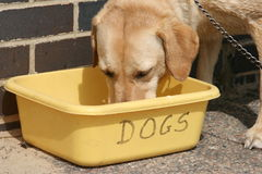 Dog drinking. Big dog drinking from a plastic bowl outdoors Stock Photography