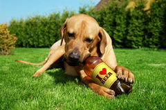 Dog drinking beer. Tosa inu cute puppy lying on the grass and drinking beer Royalty Free Stock Photo