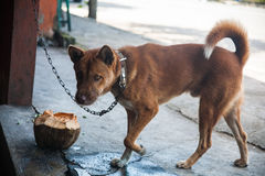 Dog drinking from a bowl made of coconut Stock Photography