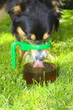 Dog drinking from jug Stock Photography