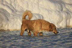 Dog drinking in Pamukkale Turkey Royalty Free Stock Images