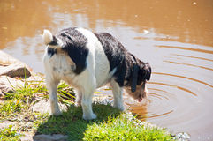 Dog drinking from a pond Royalty Free Stock Photo
