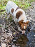 The dog is drinking from the pool. Thirst after jogging in the forest Royalty Free Stock Image