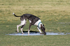 Dog drinking from a puddle Stock Photo