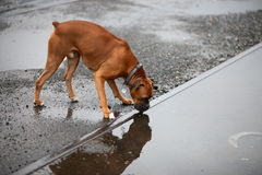Dog drinking rain water Royalty Free Stock Photography