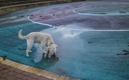 A Dog Drinking Rain Water. In an abandoned skate park stock image