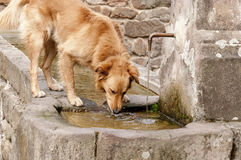 Dog drinking water royalty free stock image