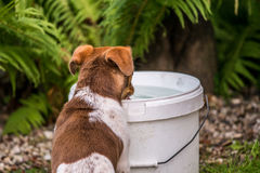 Dog drinking water from bucket Stock Photo