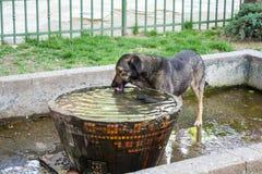 Dog drinking water Royalty Free Stock Photo