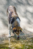 Dog drinking water Royalty Free Stock Photos