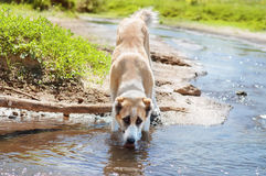 Dog drinking water of the pond Royalty Free Stock Image