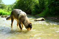 Dog Drinking Water from River Stock Images