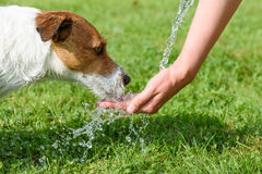Dog drinking water from woman hand at hot summer day Royalty Free Stock Image